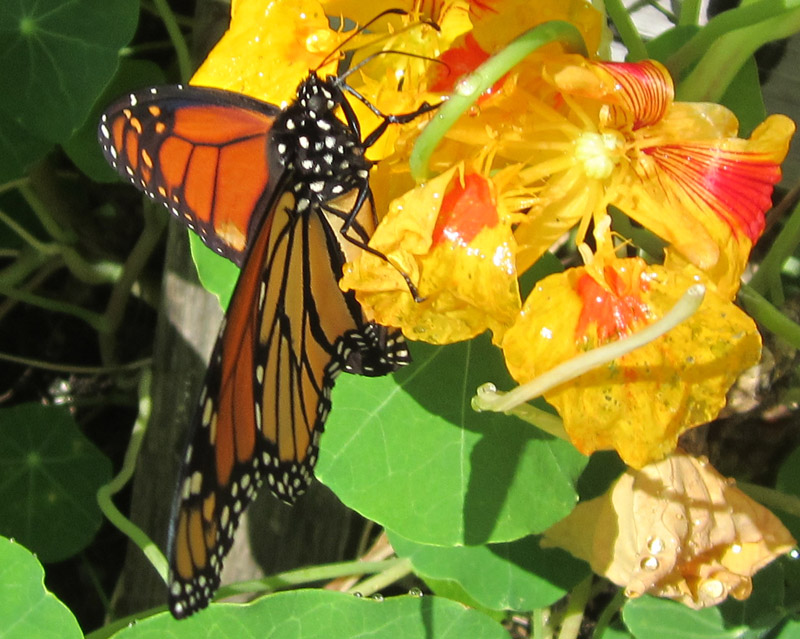 Monarch butterfly on a nasturtium