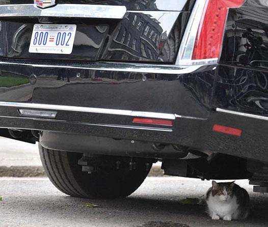 La limusina de Donald Trump perdió la batalla… contra un gato