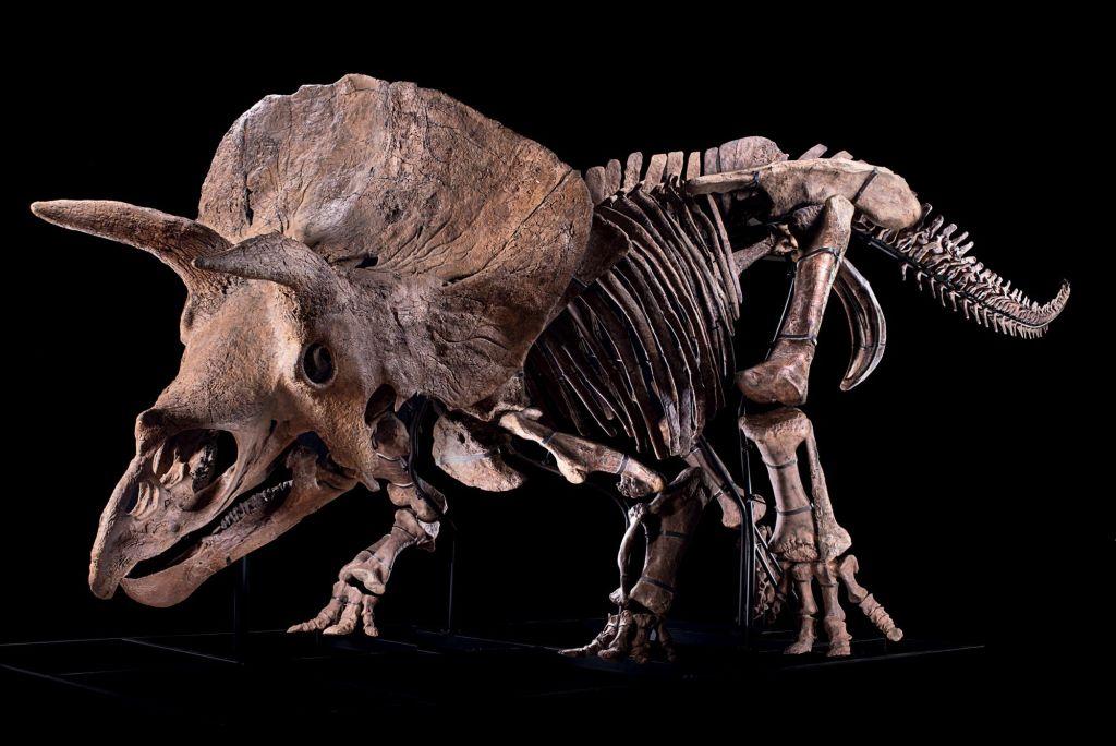 El esqueleto de triceratops más grande del mundo irá a subasta