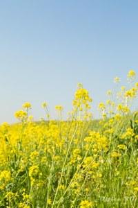 春霞の青空と菜の花
