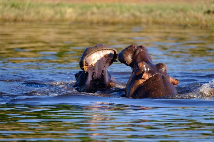 Hippos in the Chobe River during our river cruise safari by G Adventures Africa