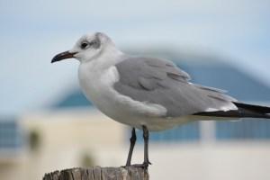 seagull,bird,birding