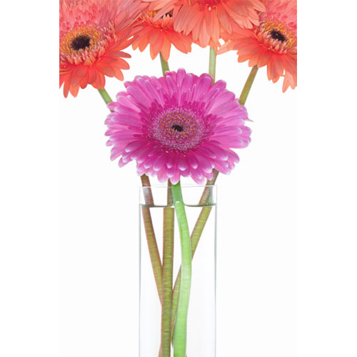 Gerbera Close-up in Vase