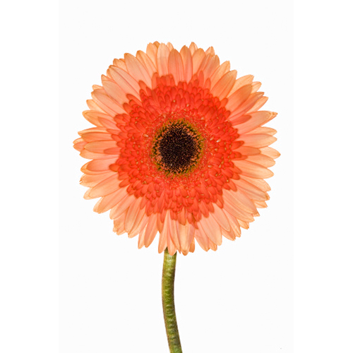 gerberas-single-bloom