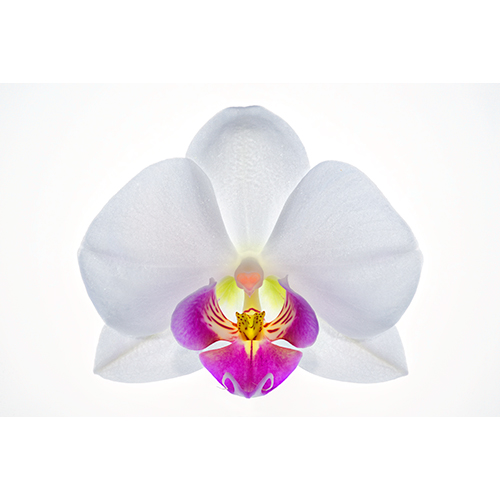 Orchid - White Phalaenopsis - stacked focus close-up