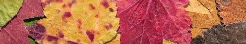 leaves-autumn-colours-pano-00
