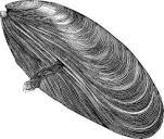 Breton Mussels