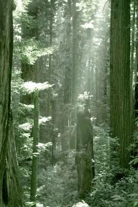 redwood500