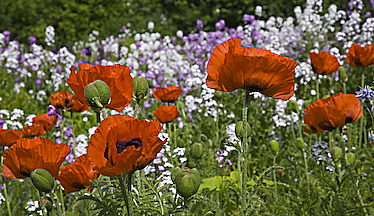 Poppies and More Phlox