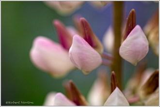 Lupine Floret