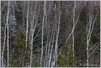 west-peninsula-birches-3