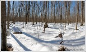 Spring Maple Bush Panorama 1 Lumenz HPSharp 1px