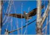 Osprey Flight Male