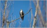 Osprey Male Lookout 1