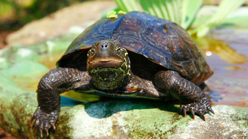 Descubren que unas tortugas son capaces de elegir su sexo antes de nacer