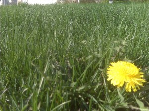 Green grass of spring with a yellow flower.