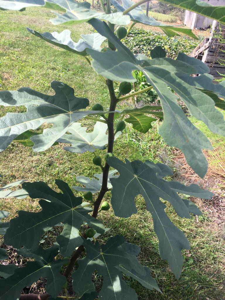 This is one of 6 branches on the fig that I wasn't sure if it had survived the winter. So many figs on this 2yo tree.