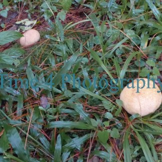 Two white mushrooms emerging from green grass