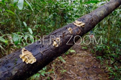 During an excursion inside the Amazon rainforest I found this fallen tree bark covered with those big yellow mushrooms.