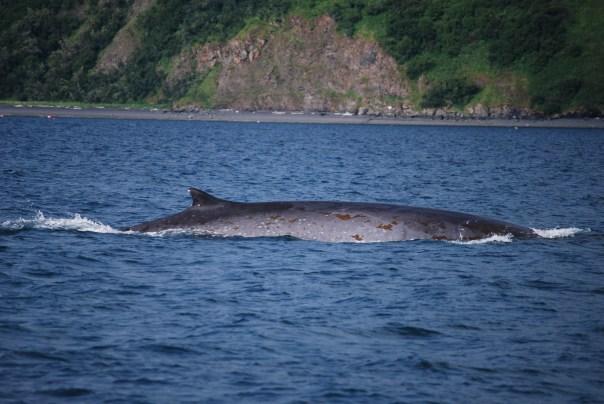 Fin Whale near Kodiak Island
