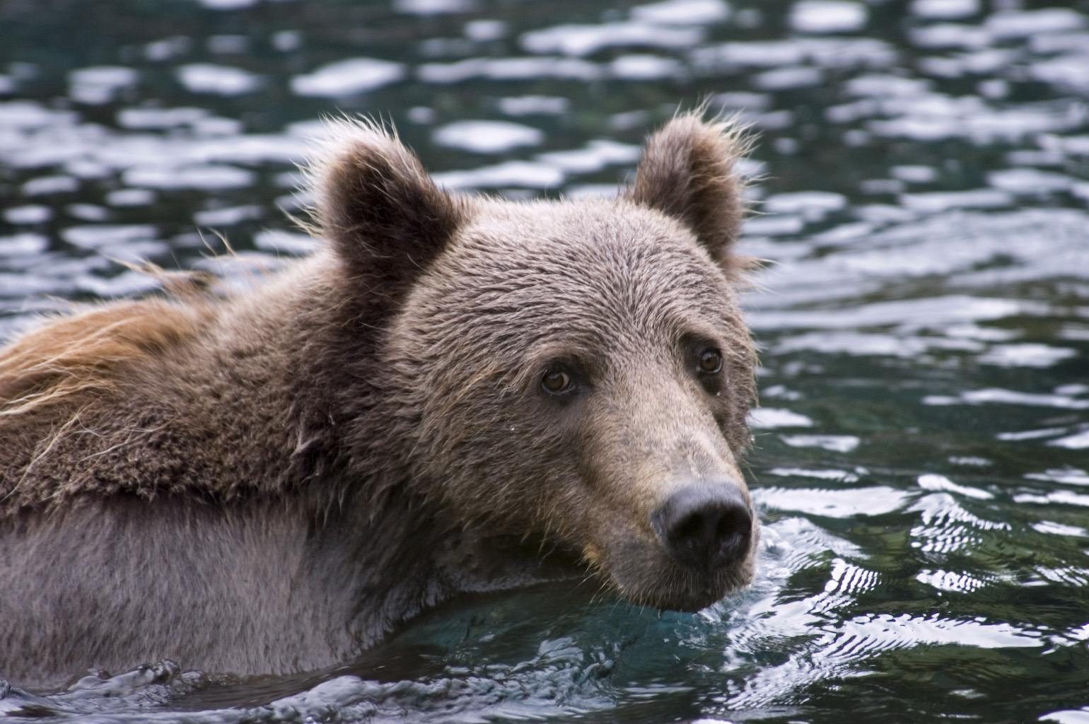How Strong Is A Kodiak Bear, And How Fast Can They Run