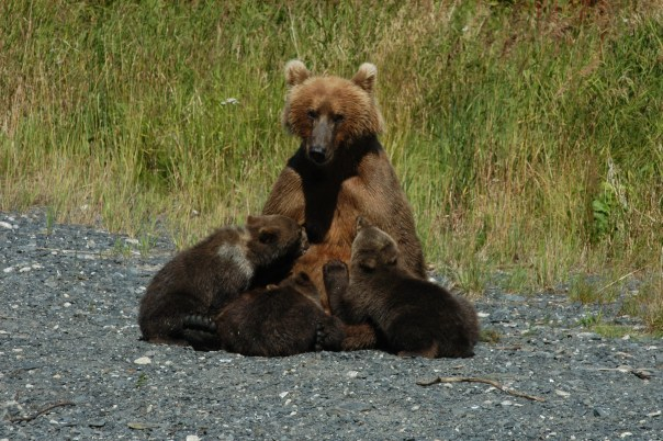 Kodiak Bear Sow Nursing Her Cubs