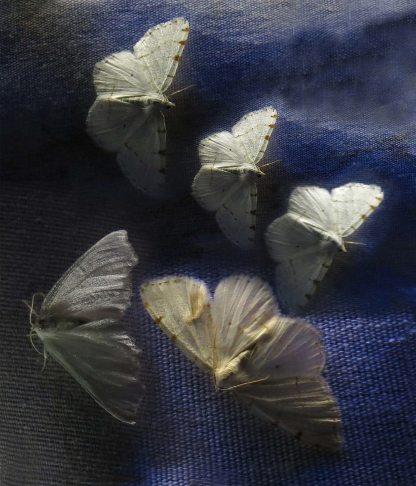 Robin Botie of Ithaca, New York Photoshops moths from Moth Night with Cornell University Insect Collection manager.