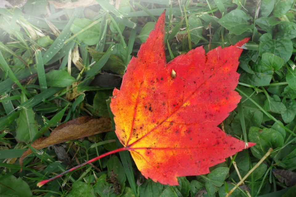 Robin Botie of Ithaca, New York, finds a lone red leaf in her yard.