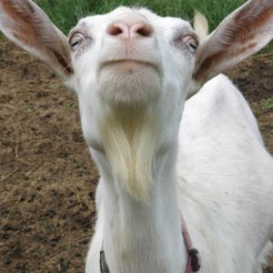 A goat smiles in Ithaca, New York. By Robin Botie.