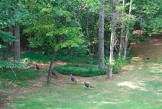 wild-turkeys-in-the-front-yard