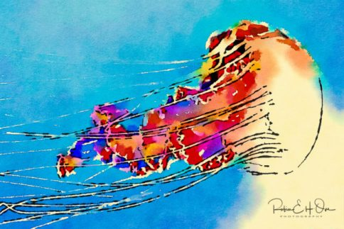 Bold Jellyfish © Robin E. H. Ove All Rights Reserved