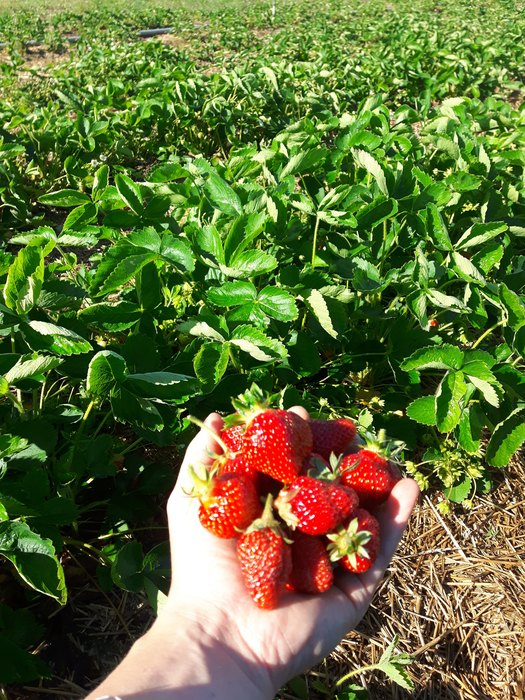 Strawberry Picking In GTA