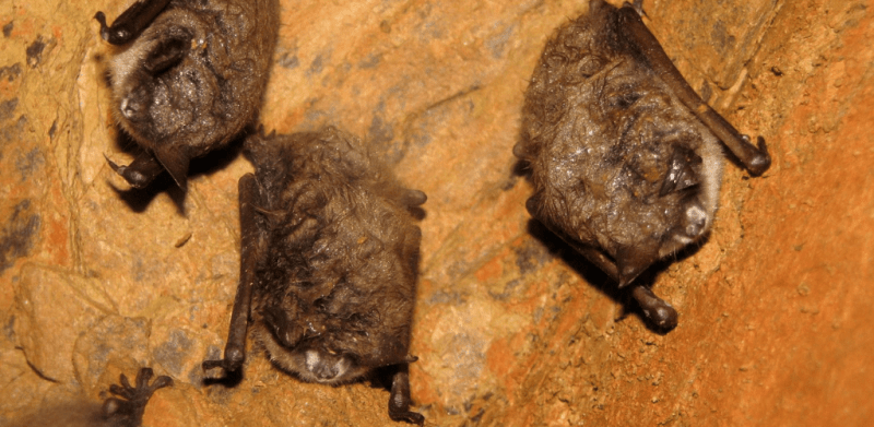 If COVID transmit to North American Bats