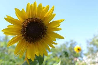 Sunflower, Roosevelt Island