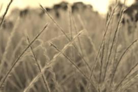 Ornamental Grass In Sepia