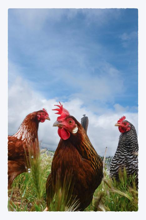 Three hens, blue sky 33x22_DSC0486_