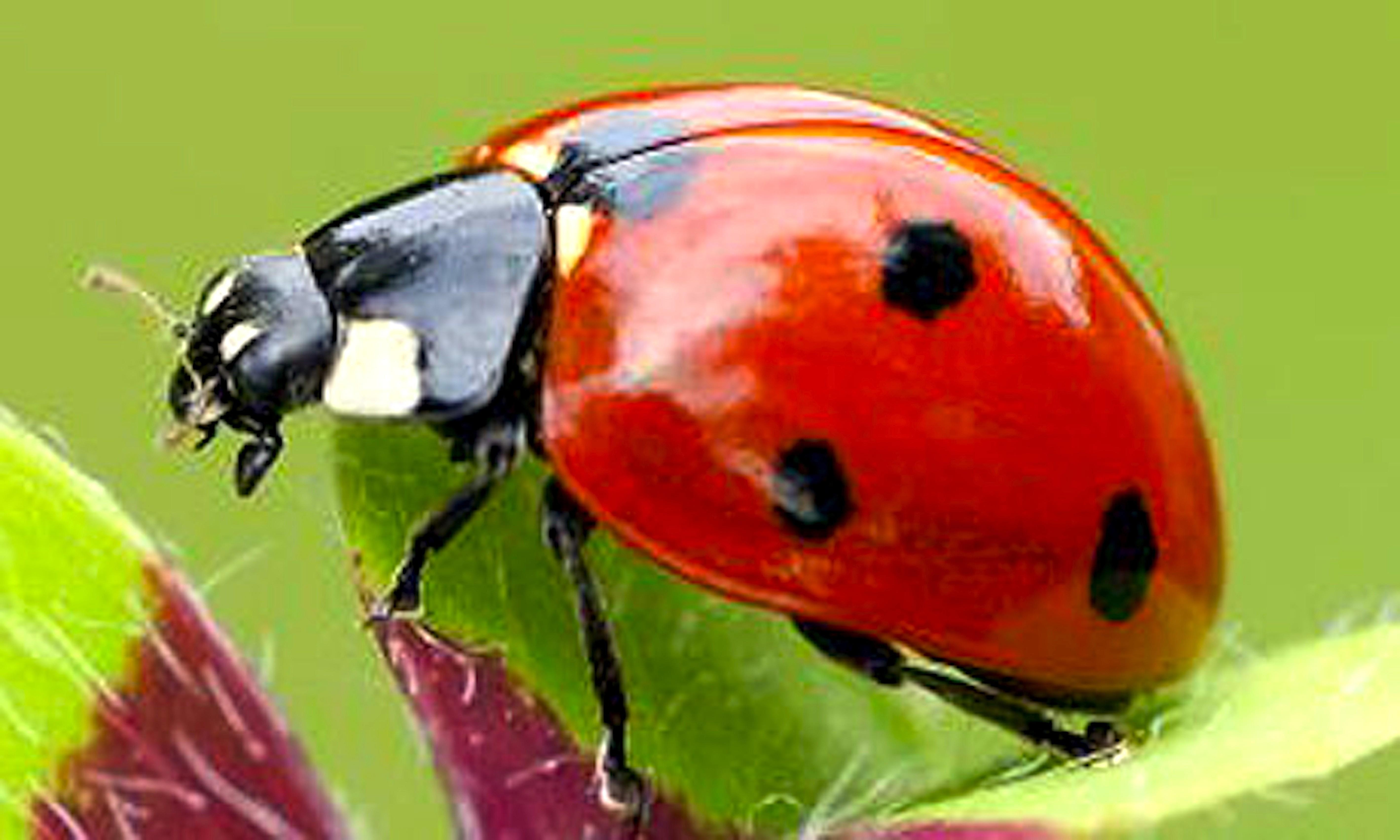 Ladybird (foto dragonfli)