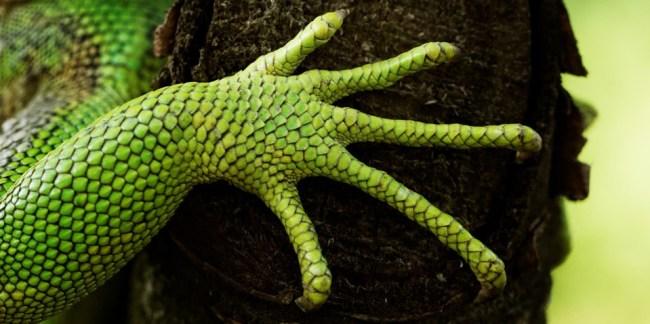 Poot van groene leguaan (foto SuperZoo)