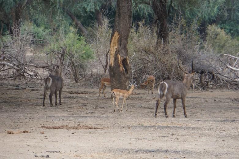 Waterbuck and Impala