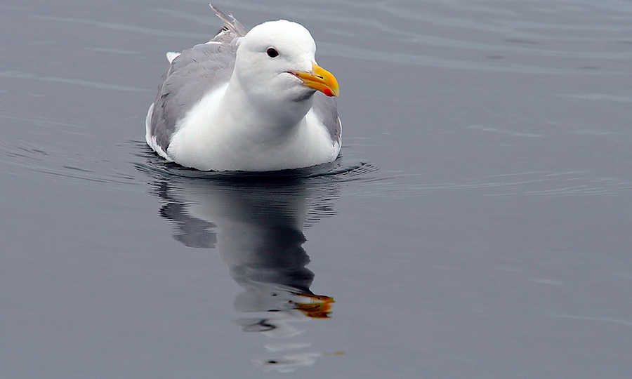 seagull water reflection