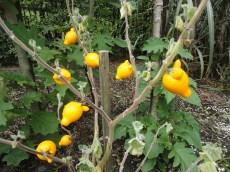 Yellow pig shaped fruits