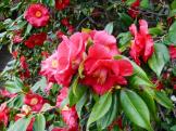 CamelliaMelb