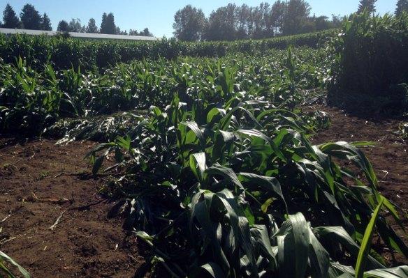 Wind-blown corn