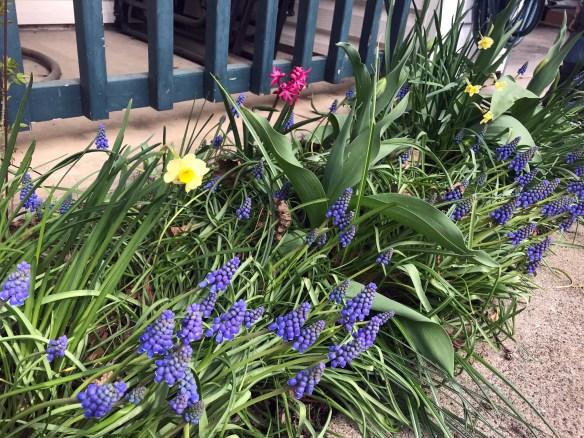 April Flowers Hyacinth