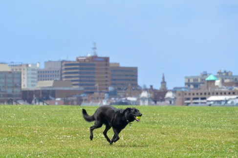 A dog fetches a tennis ball, with Portland in the background.