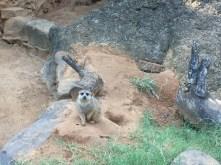 Here is a meerkat