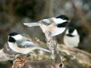 Black-capped Chickadee -Mendon Ponds Park, NY © Richard Ashworth