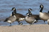 Cackling Geese with Canada Geese - Hamlin Beach State Park (© Dominic Sherony)