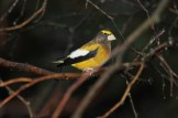 Evening Grosbeak (male), Mendon (© Dominic Sherony)