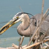 Great-blue Heron with fish, Florida. (© D. Sherony)